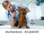 Stock photo veterinarian doctor making check up of a dachshund 81166435