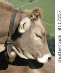 Cow with a bell on the neck - stock photo
