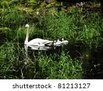 a trumpeter swan with four...   Shutterstock . vector #81213127