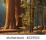 Three Majestic Sequoias...