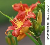 Red Day Lilies Close Up