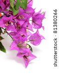 A Branch Of Bougainvillea On A...