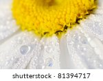 Drops Of Dew On A Chamomile ...