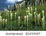 Beargrass And Spirea In The...