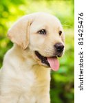 Stock photo labrador retriever puppy in the yard shallow dof 81425476