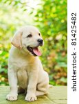 Stock photo labrador retriever puppy in the yard shallow dof 81425482