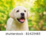 Stock photo labrador retriever puppy in the yard shallow dof 81425485