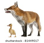 Red Fox  Vulpes Vulpes  4 Years ...