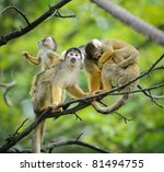 Black Capped Squirrel Monkeys ...