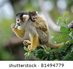 black capped squirrel monkey... | Shutterstock . vector #81494779