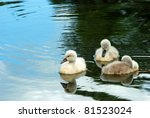 Closeup Of Three Baby Swans In...