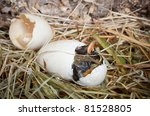 Birth of a baby duckling out of a white egg - stock photo