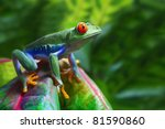 A Colorful Red Eyed Tree Frog...