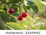Red Cherries On A Tree With...