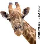 Close Up Shot Of Giraffe Head...