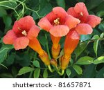 Trumpet Vine Flowers In Blossom.