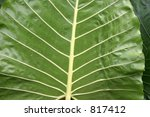 Small photo of Close-up of Alocasia alba brisbanensis leaf