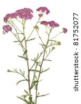 Small photo of pink inflorescence herb(Achillea millefolium)on white background