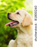 Stock photo labrador retriever puppy in the yard shallow dof 81800260