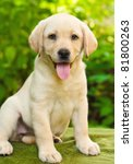 Stock photo labrador retriever puppy in the yard shallow dof 81800263
