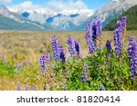 Wild Lupinus in the Southern Alps of the South Island of New Zealand - stock photo