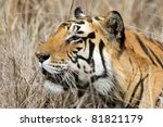 Wild tiger male sneaking through the grass, Kanha National Park, Central India - stock photo