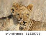Lion big-brother babysitting cub, Serengeti National Park, Tanzania, East Africa - stock photo