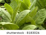 Tobacco leafs at a plantation at Cuba - stock photo