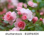Stock photo roses in the garden 81896404