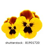 Yellow Pansies Winter Pansy...