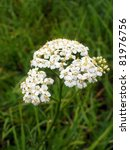 Small photo of white Achillea Millefolium