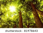 sunny cedar forest background ...