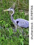 A Great Blue Heron At...