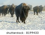 An American Bison Emerging Fro...