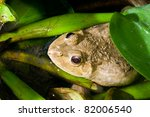 closeup of thai frog  thailand. | Shutterstock . vector #82006540