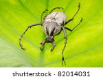 insect hart horn flower beetle dicronocephalus wallichii on leaf - stock photo