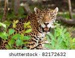 Jaguar In Wildlife Park Of...