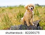 Golden Retriever Puppy Outside - stock photo