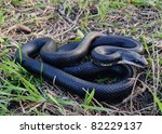 Black Rat Snake  Pantherophis...