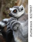 ring tailed lemur resting in tree - stock photo