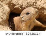 cute little prairie dog coming from it's sandy burrow - stock photo