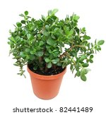 A Large Jade Houseplant Tree I...