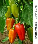 red and green peppers growing... | Shutterstock . vector #82441678