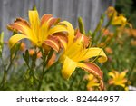Yellow And Orange Day Lillies...