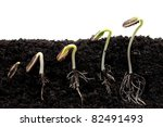 Sunflower Plant Sprouts...