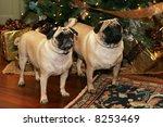 two adorable pug dogs standing near christmas tree - stock photo