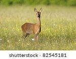 Roe Deer   Capreolus Capreolus...