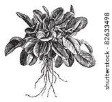Garden Sorrel Or Rumex Acetosa...