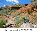 Collared Lizard Basking