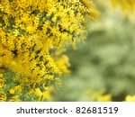 Wattle  Overflowing With Sprin...